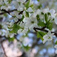 Цветки вишни :: Александра Сучкова
