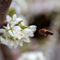 Пчела :: Надежда Елисеева