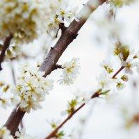 Цвет сливы :: Надежда Елисеева
