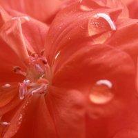 Red flower :: Yana Fizazi