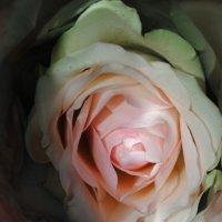 роза :: Аня Журавлёва