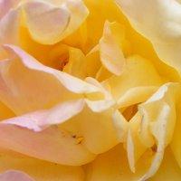 Внутри желтой розы :: Александр Скамо