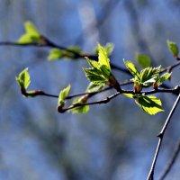 Первая зелень. :: Мила Коллинз