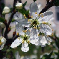 Весеннее цветение. :: Мила Коллинз