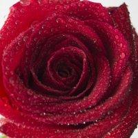 Роза :: Лама Lama