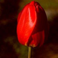 тюльпан-принц цветов. :: александр мак mak