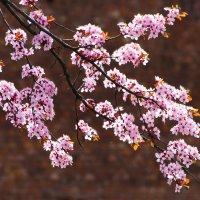 цветение... :: Лариса Н