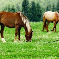 кони :: Сергей Кочнев