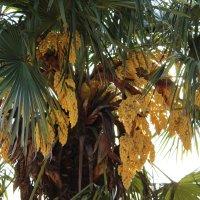 моя пальма :: Sofi Klimenkova
