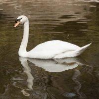 лебедь :: piter rub
