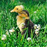 two little ducks :: Галина Валюшко