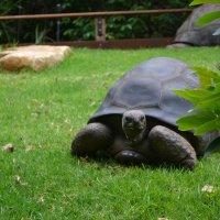 Черепаха :: елена Shs