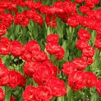 Тюльпаны :: Ольга Маркелова