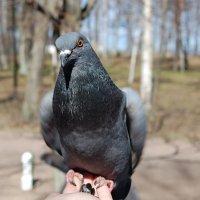 голубь :: Мария Гладковская