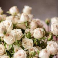Розы :: Александр Создаев