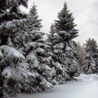 Зимнии красавицы. :: Геннадий