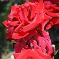 розы :: виктория Берина