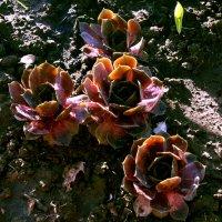каменная роза. :: александр мак mak