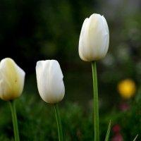тюльпан-белый. :: александр мак mak