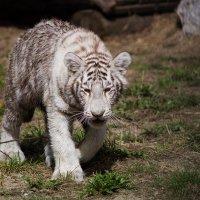 Белый тигренок :: Наталья Панина