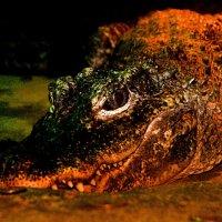 Крокодил :: Kerrin Regen