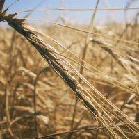 Пшеница :: Maxim Voyko