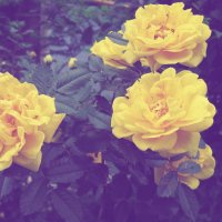 Чайная роза :: Lilia Kamalova