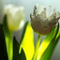 Тюльпаны :: Марина