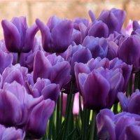 весенние тюльпаны :: Александр Прокудин