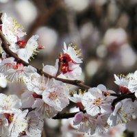 Абрикос цветёт 2 :: Валерий Дворников
