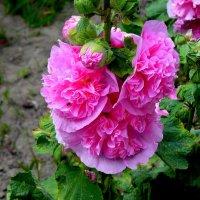 дачные цветы 2 :: Александр Прокудин