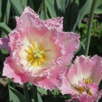 Розовый тюльпан :: Вера Щукина