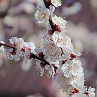 Абрикос цветёт 7 :: Валерий Дворников