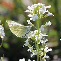 7 марта прилетели первые бабочки! :: Светлана Масленникова