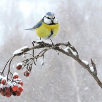 Снегопад и лазоревка. :: Hаталья Беклова