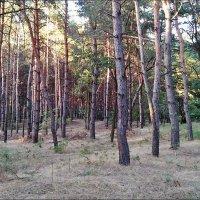 Летний вечер в сосновом лесу :: Нина Корешкова