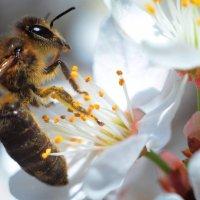 Пчела. :: Береславская Елена