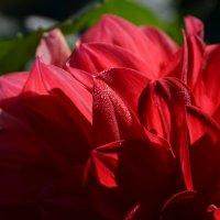 Лепестки цветка георгина на солнце :: Сергей Тагиров