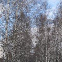 Березы в феврале :: Дмитрий Никитин