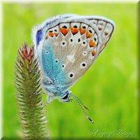 Голубяночка :: Evgeny Berezin