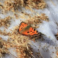 Бабочка на снегу. Москва это тоже немножечко Альпы. :: Елена Шел