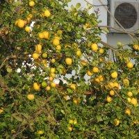 Пора созревания лимонов :: Герович Лилия