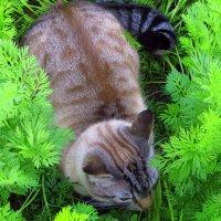 Кот,который любил прятаться на грядке с морковью. :: Галина Полина