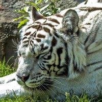 Белый Тигр :: Олег Савин