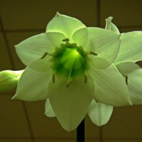 Эухарис, другое название амазонская лилия. :: Вера Щукина