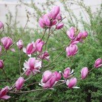 Цветы магнолии,  они похожи на бабочек вот-вот вспорхнут. :: Наталья