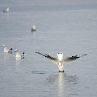 Злой птиц пикирует :: Сергей Казаченко