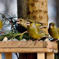 слёт зеленушек) :: linnud