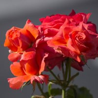 Розы алые букет :: Александр Деревяшкин