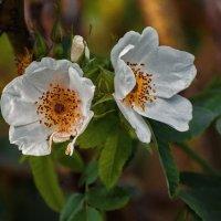 Яблоня в цвету :: Алина Репко